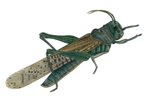 grasshopper_5