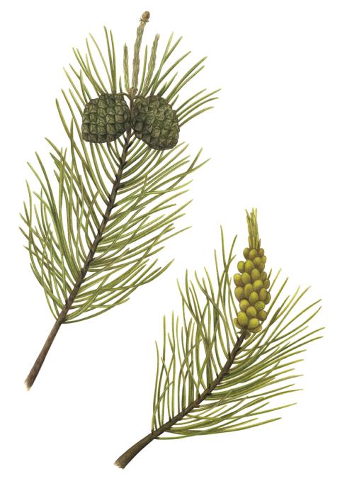 pinecone_web